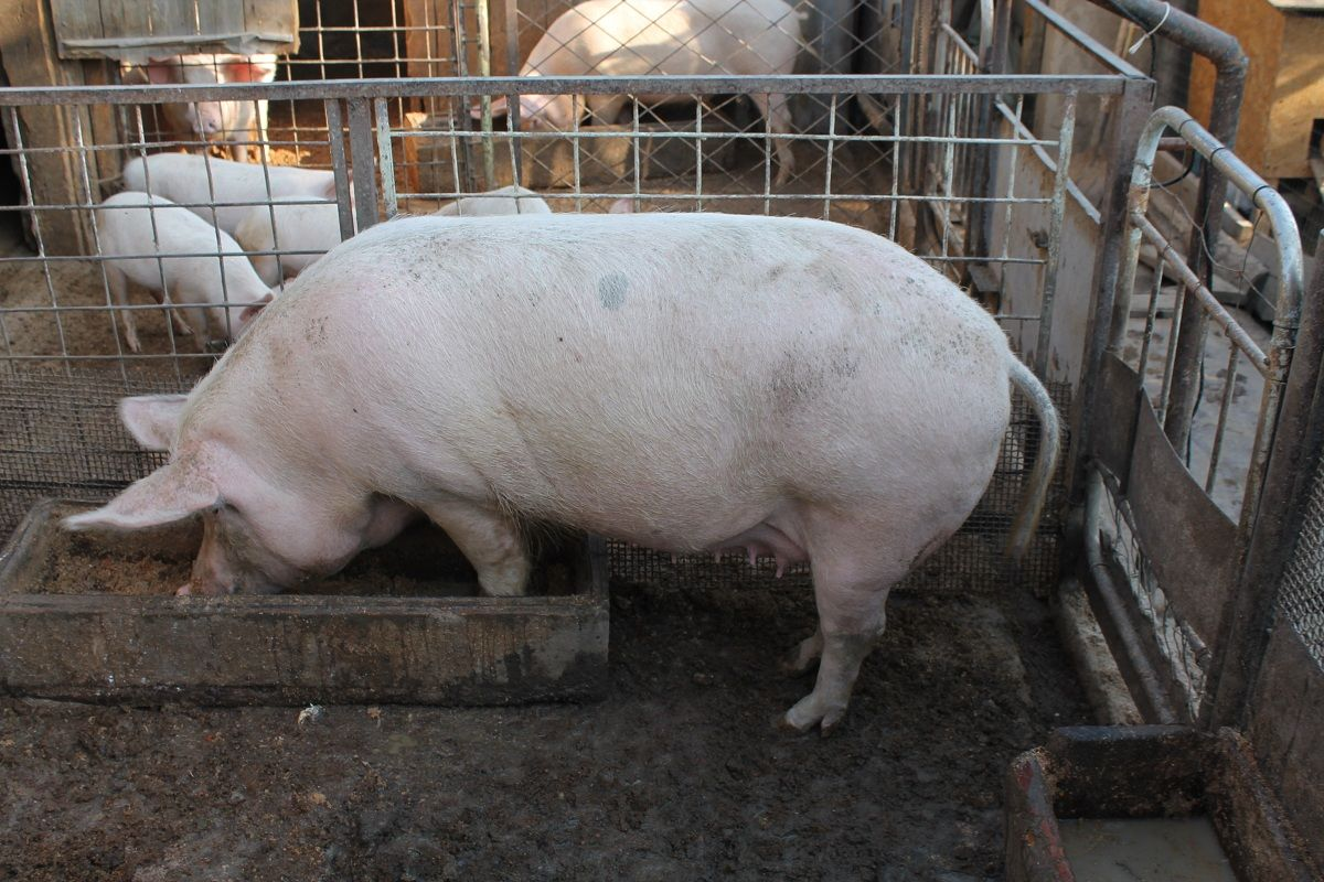 Построить свинарник своими руками в домашних условиях