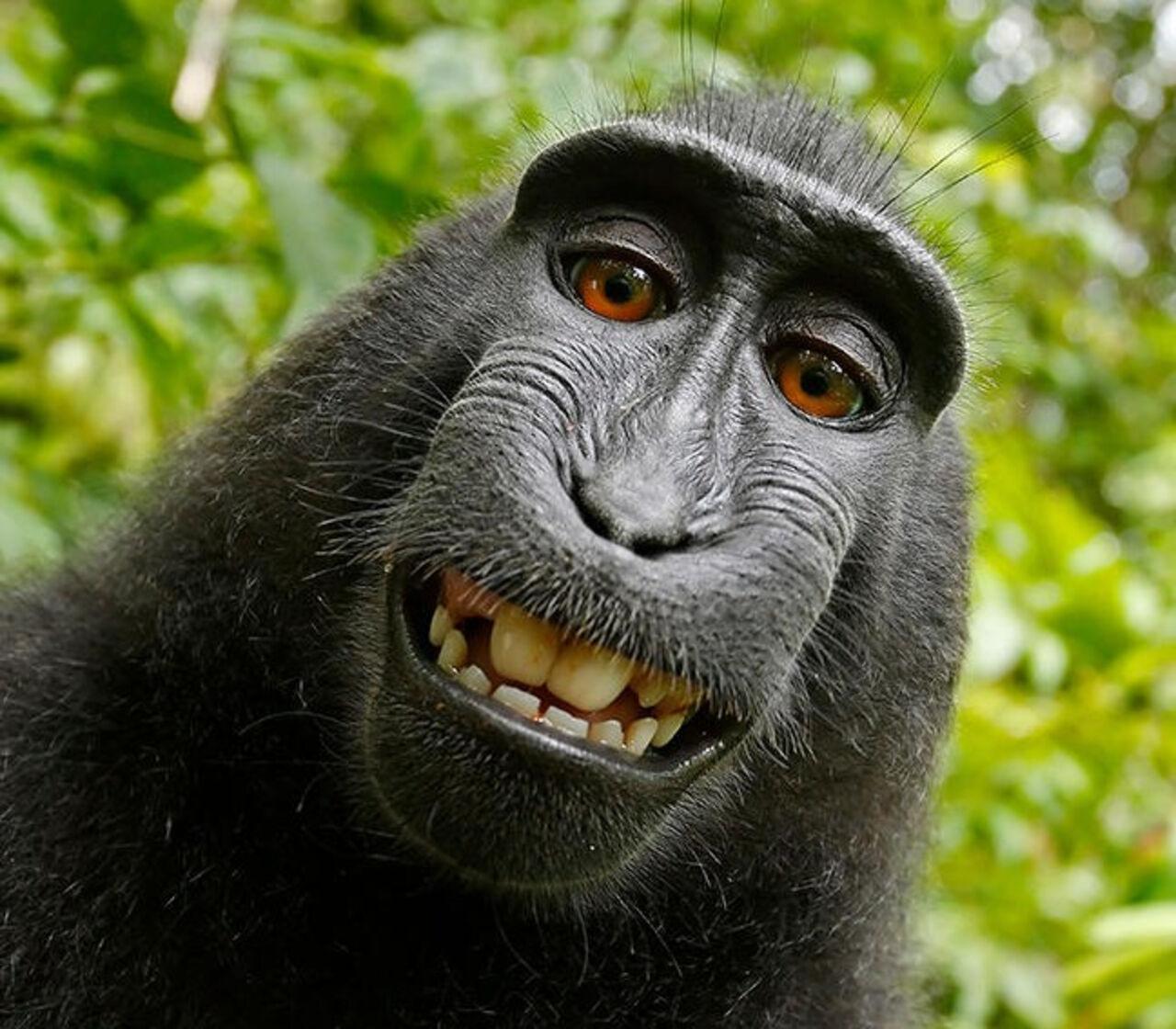 Фотограф одержал победу  узоозащитников суд поделу оселфи обезъяны
