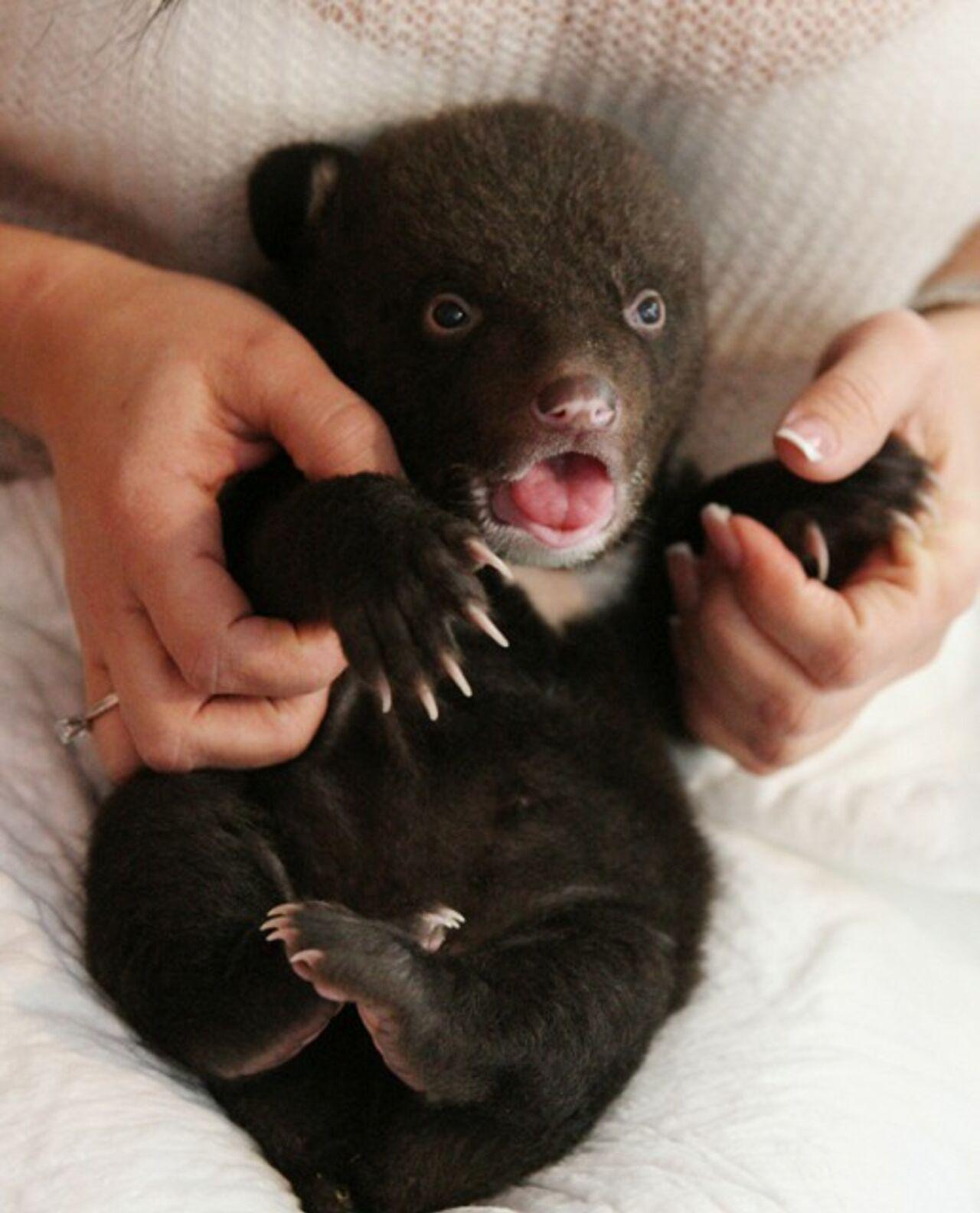 Гималайский медвежонок полдня просидел в«обезьяннике» отделения милиции  вПриморье