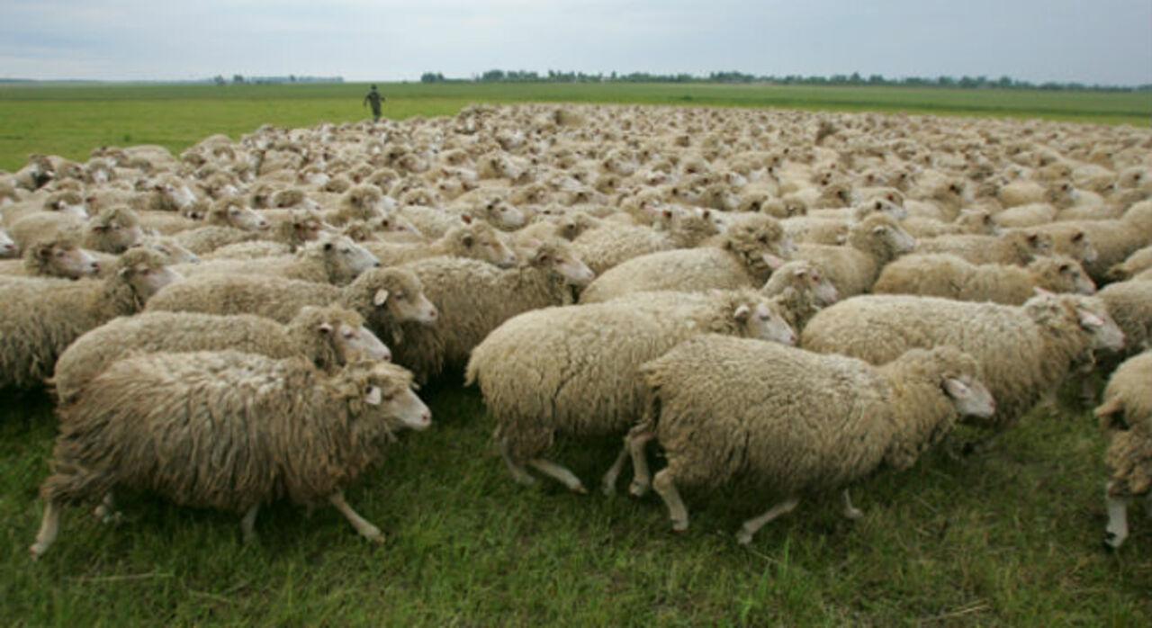 Пьяные кузбасские охотники устроили сафари наотару овец