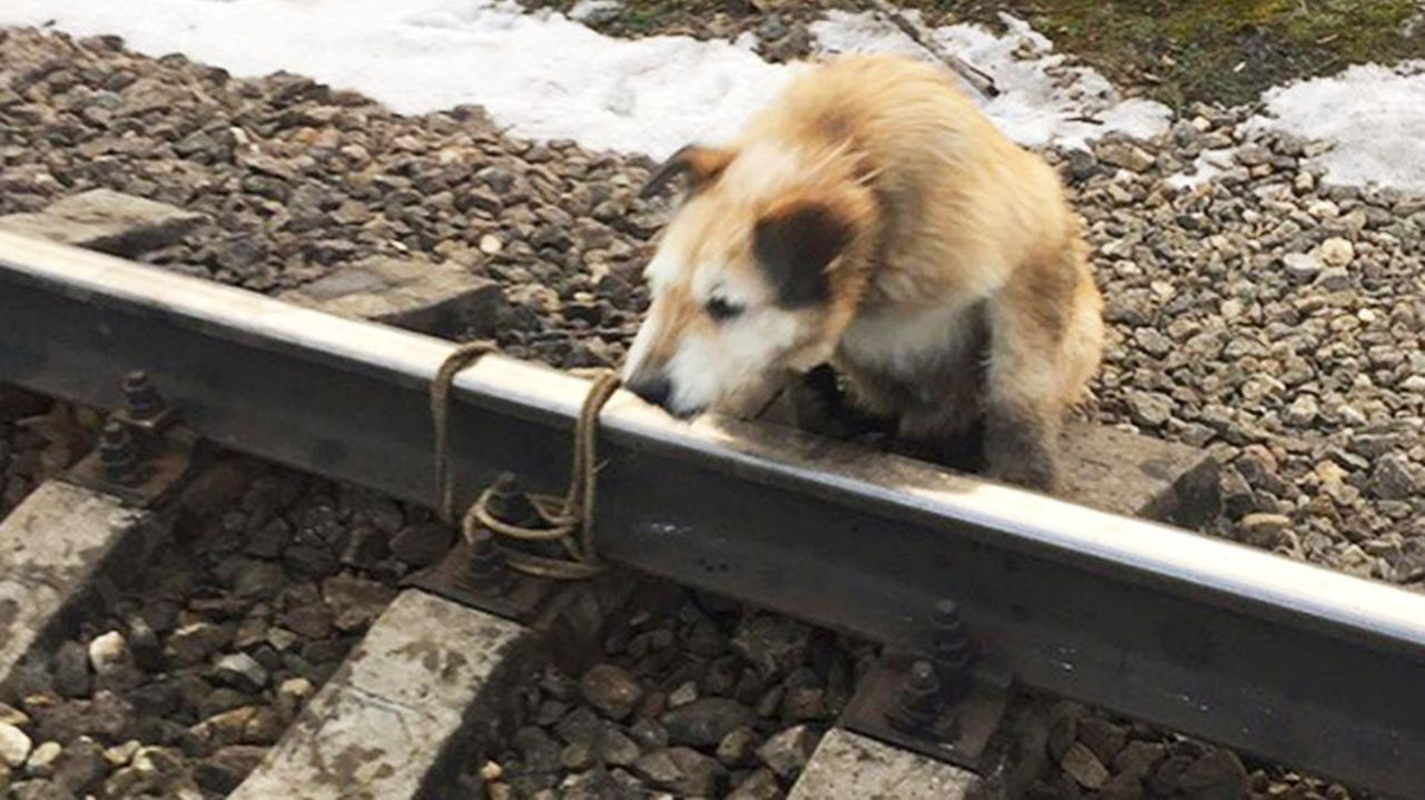 Машинист электрички, спасший привязанного крельсам пса, получит награду
