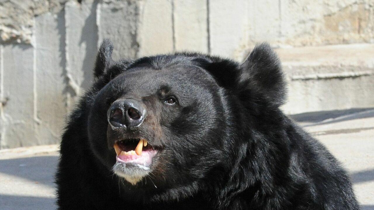 СКначал проверку после нападения медведя на рабочего всеверском зоопарке