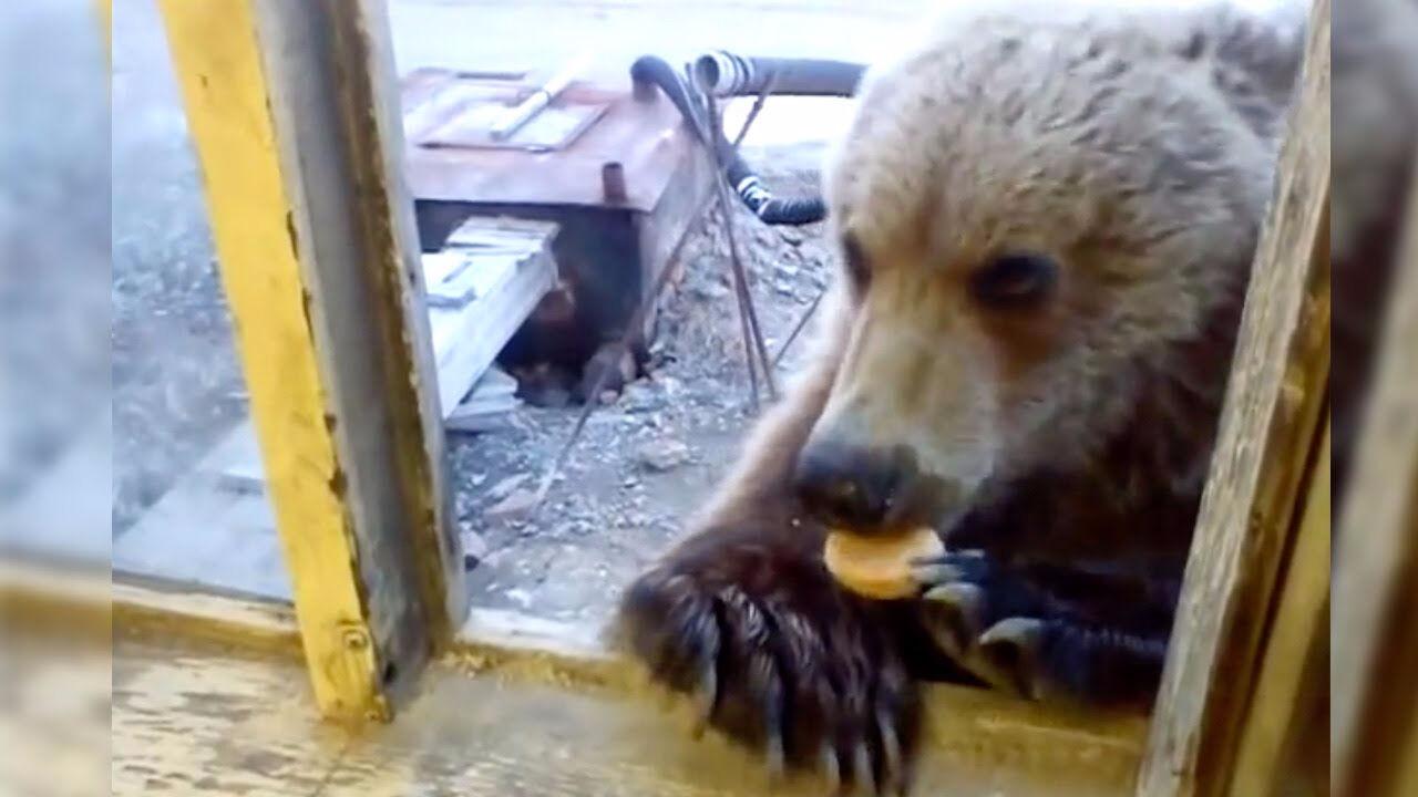 Медведь застрял вокне вагона под Нижневартовском