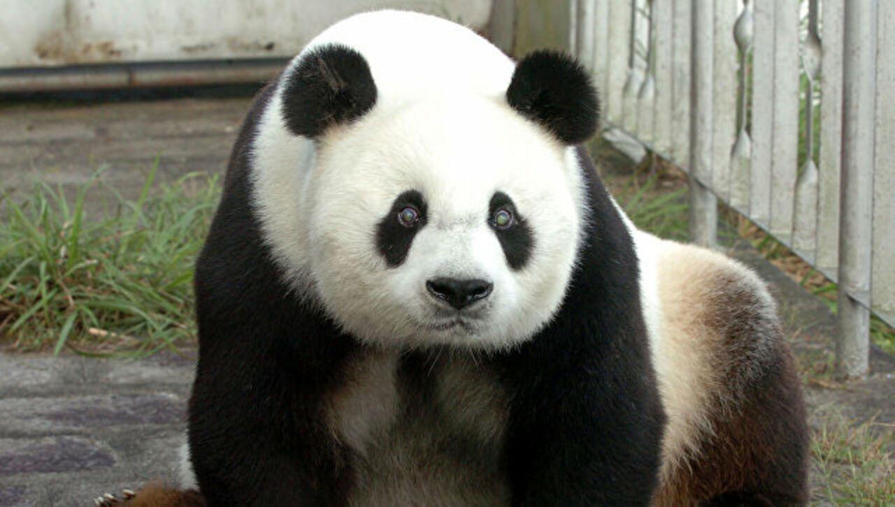 В КНР скончался самый старый самец панды Паньпань