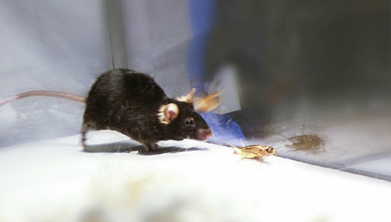 Ученые научились превращать мышей в свирепых зомби