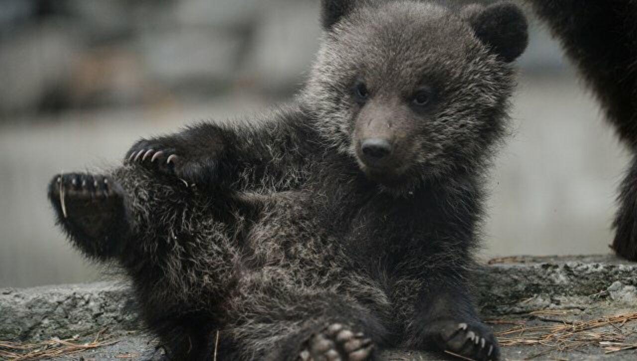 В столице обнаружили бурого медвежонка который несколько дней подряд просидел запертым в автомобиле сообщает Мир24
