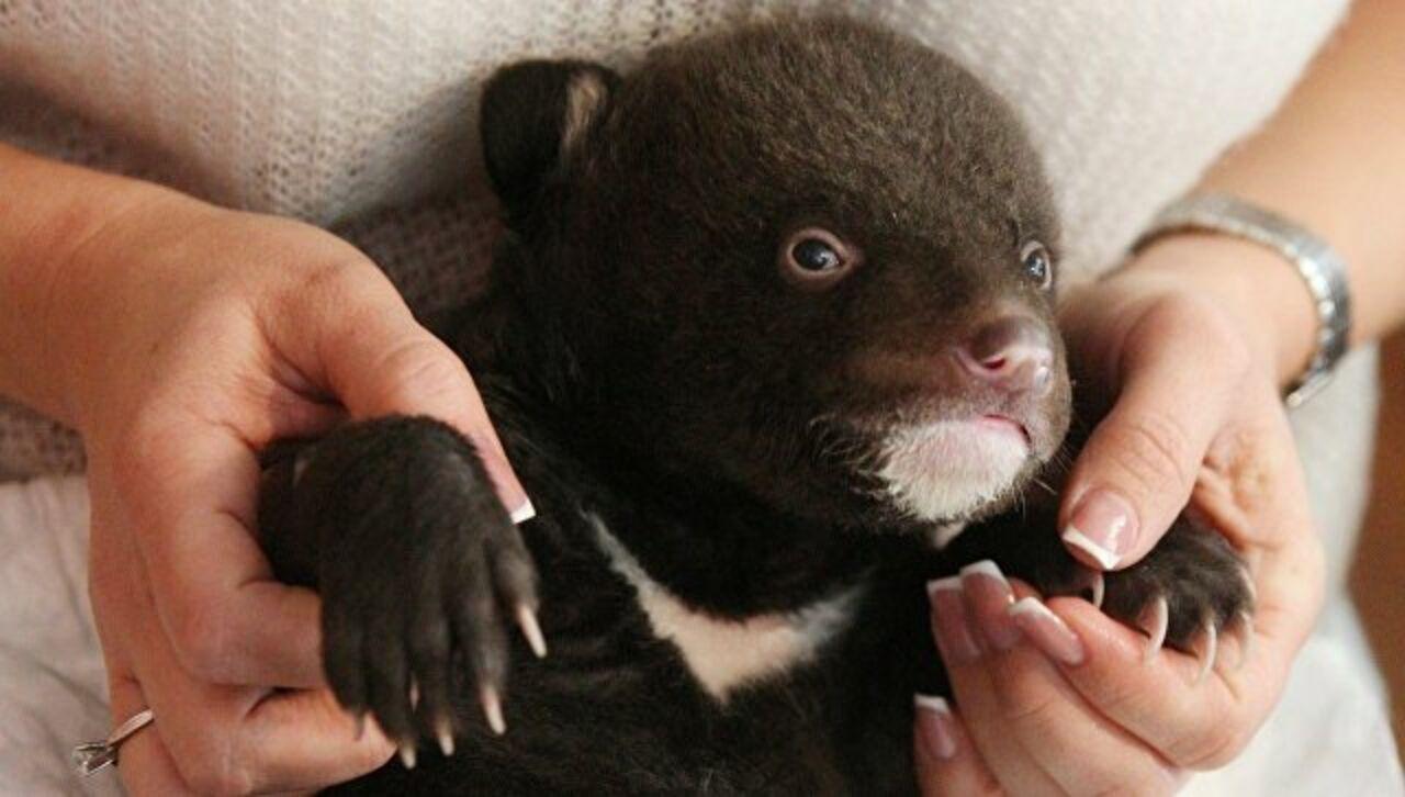 Крохотного гималайского медвежонка подкинули кдверям охотнадзора вПриморье