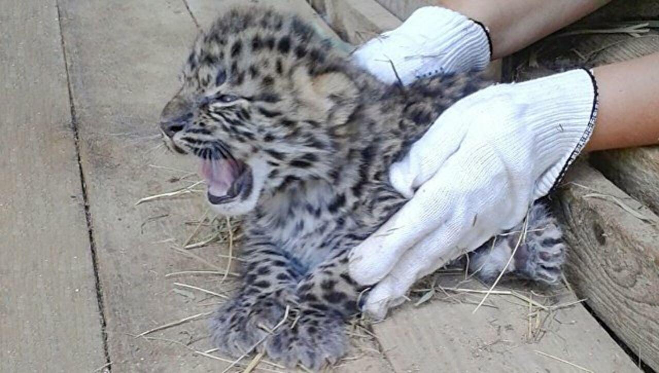 Котята дикого дальневосточного леопарда впервый раз за60 лет родились вневоле
