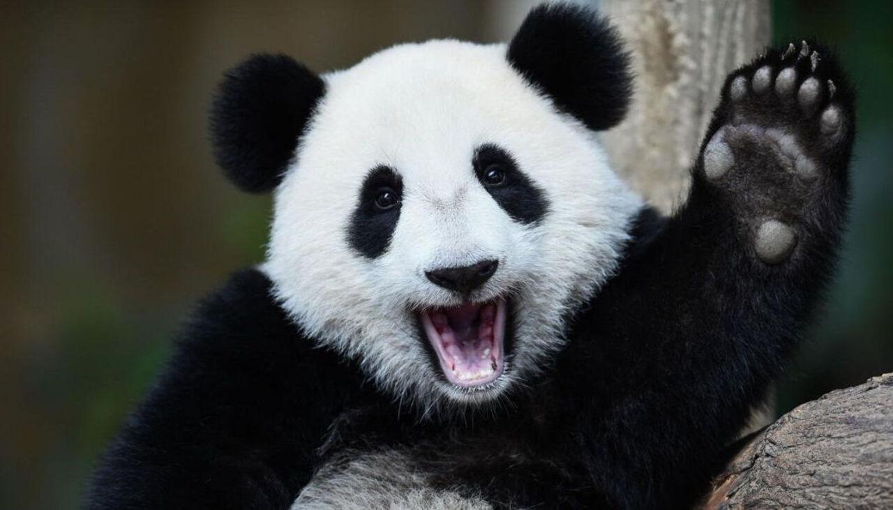 Видео, как панда, рухнув сдерева, испугала собственных  родственников
