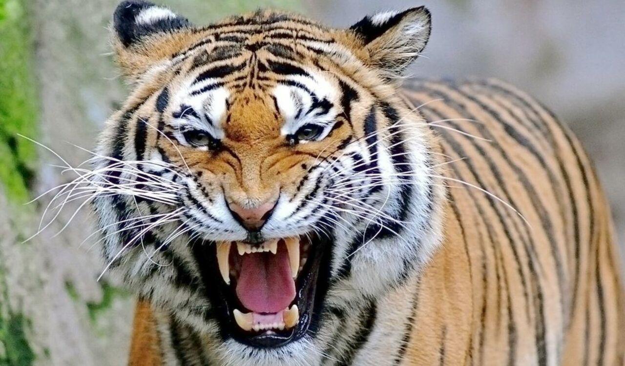 Тигр напал надевочку взоопарке Барнаула