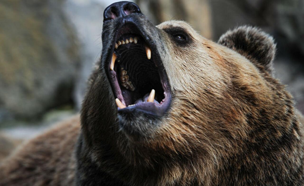 ПослеЧП смедведем навладельца частного зоопарка завели уголовное дело