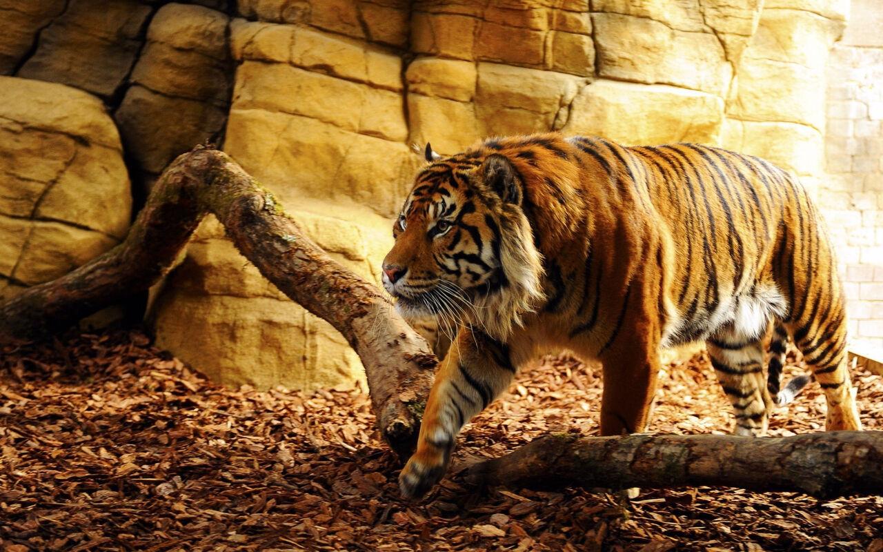 Тигр убил сотрудницу зоопарка в Англии