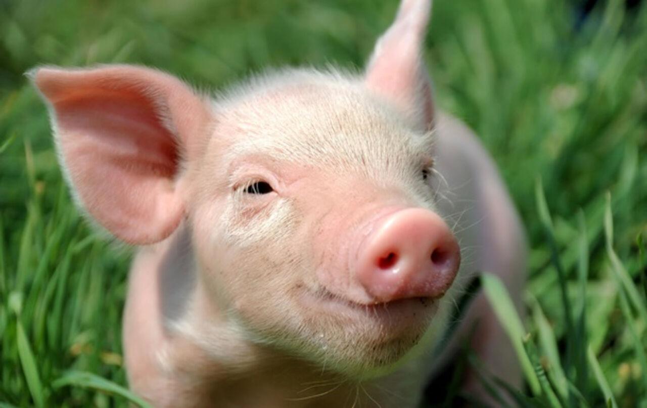 Ученым удалось вживить стволовые клетки человека свинье