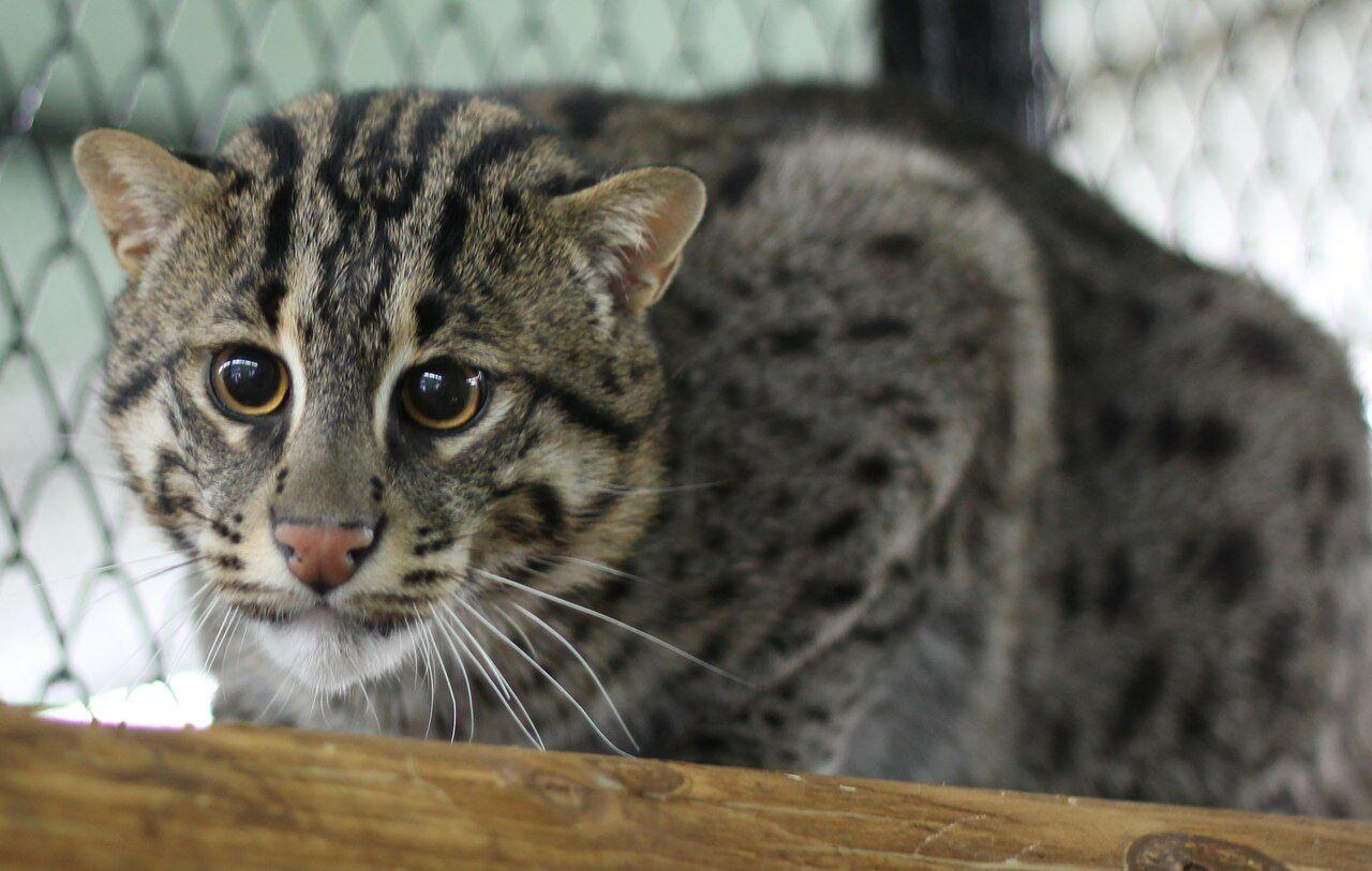 порода котов рыболовов цена