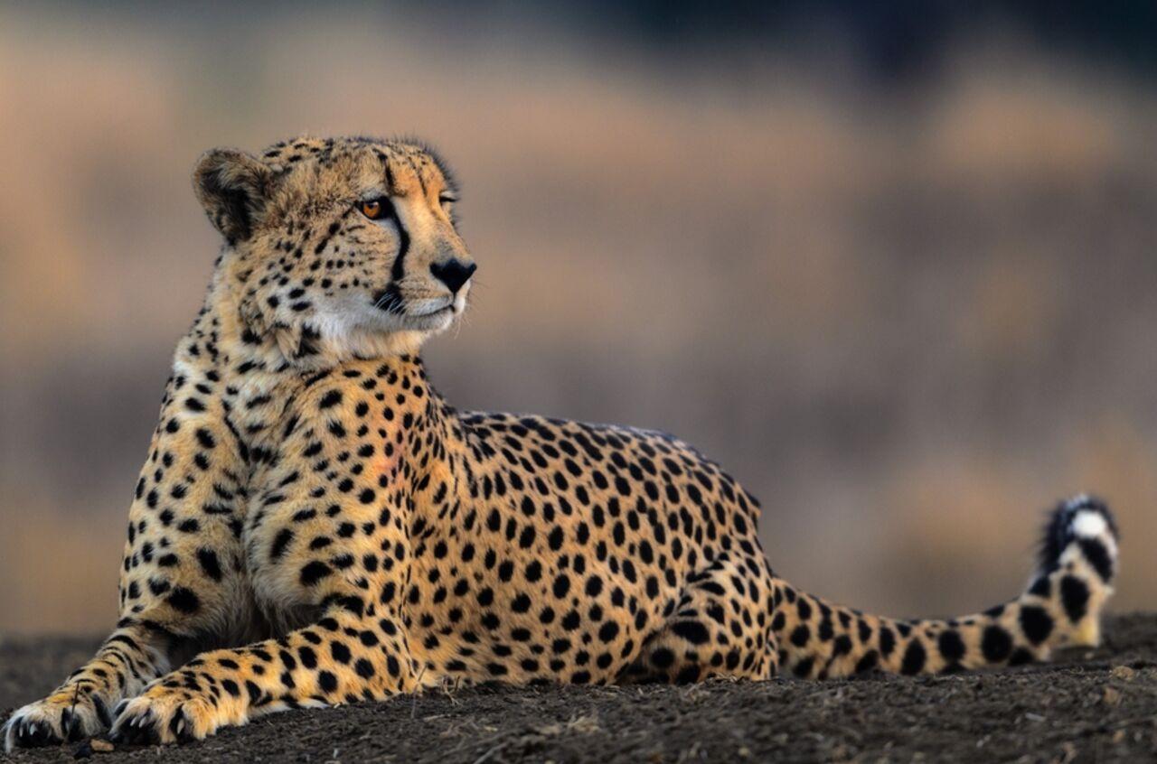 Ученые выяснили, что гепарды оказались вАфрике неслучайно
