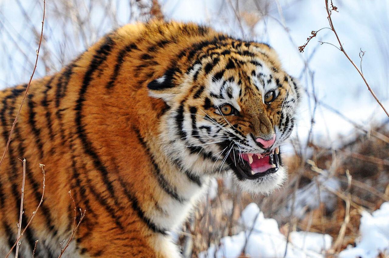 Милиция Владивостока ищет гуляющего погороду амурского тигра