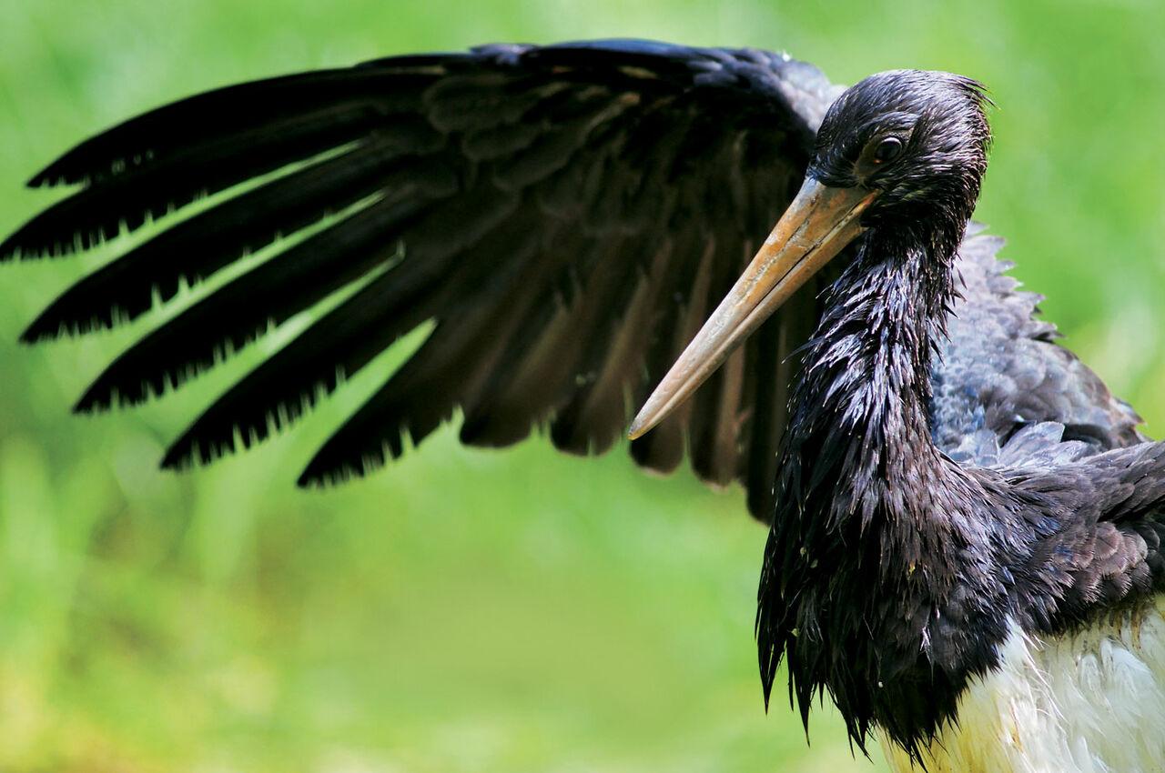 ВКузбассе браконьеры продавали через интернет черного аиста