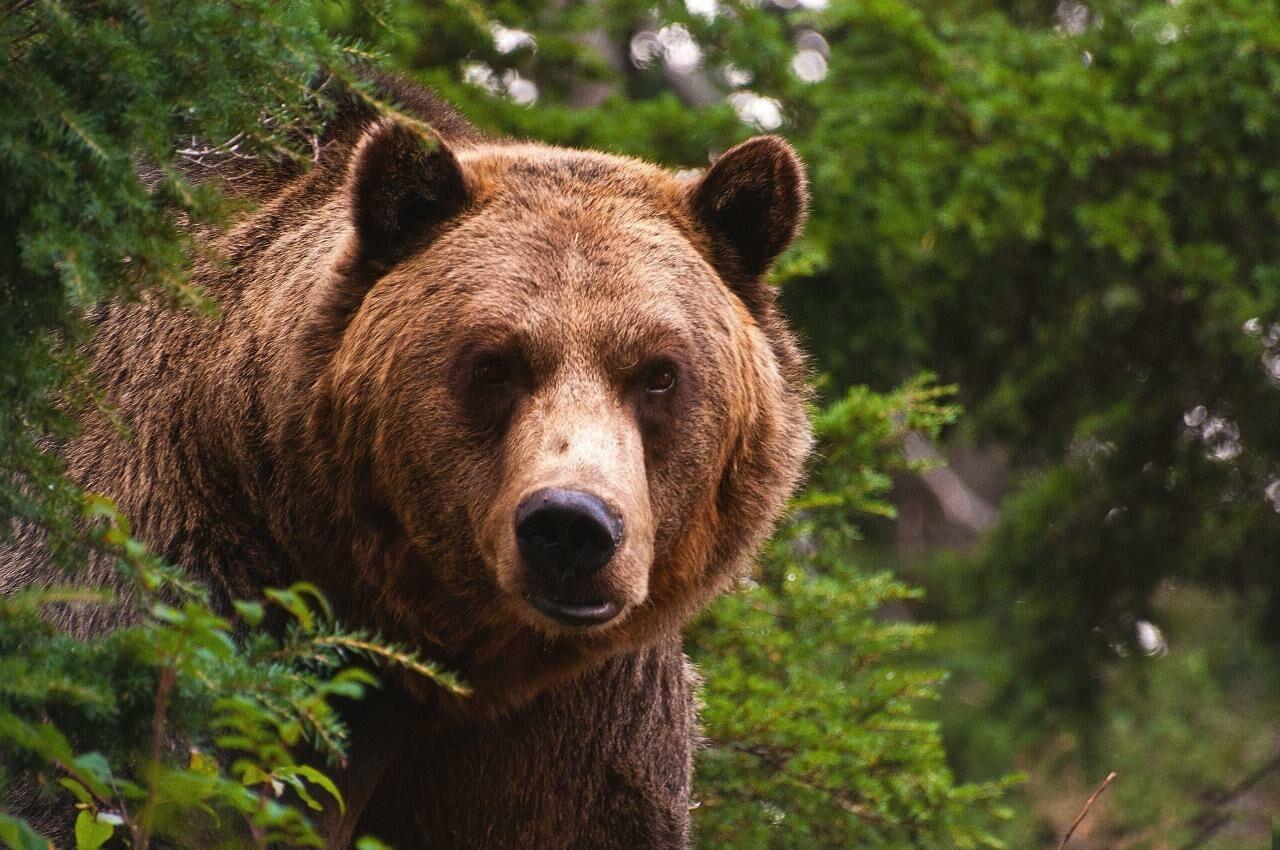 Медведь напал нажителя Томской области вовремя охоты
