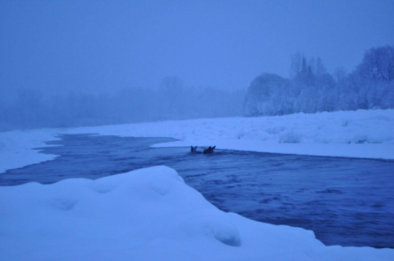 Работники заповедника «Кузнецкий Алатау» спасли изполыньи 2-х лосей