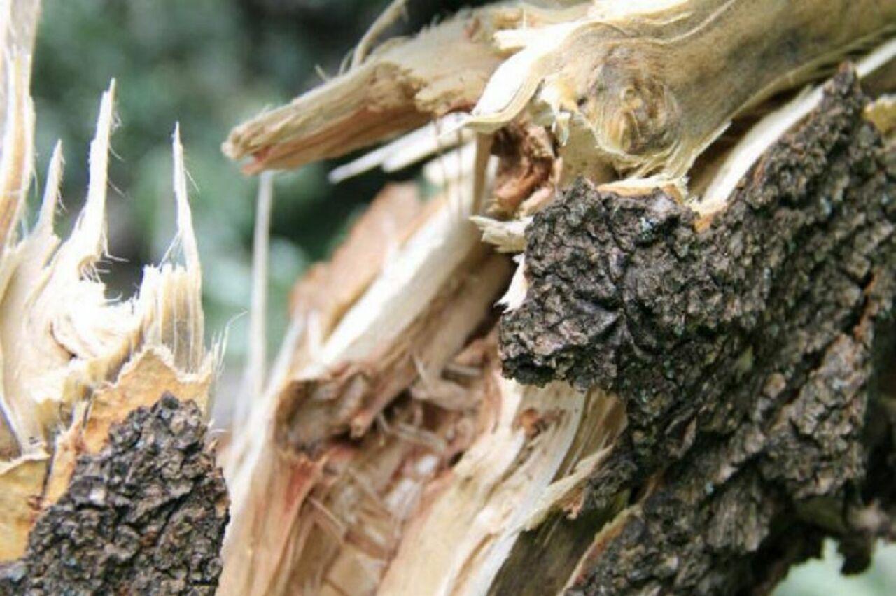 ВКалачинском районе лесоруба убило упавшим деревом