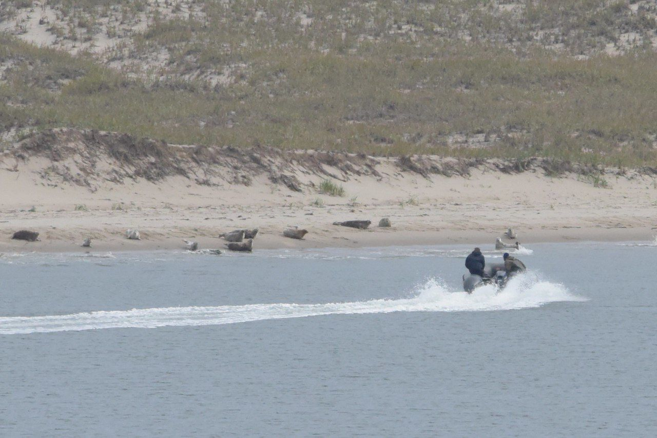 Сахалинские экологи сказали оживодерах, издевавшихся над тюленями