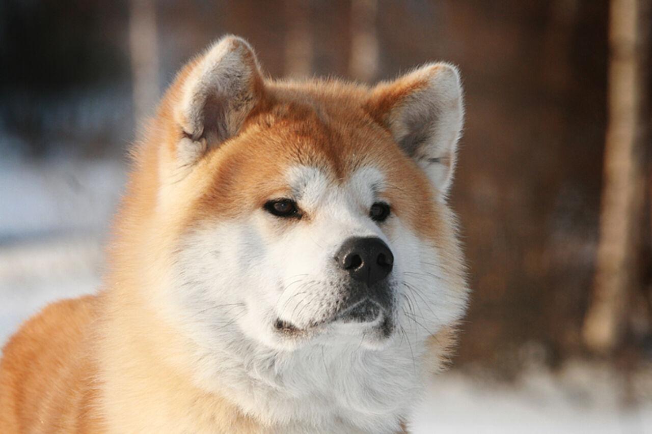 Япония передумала дарить Путину 2-го щенка акита-ину