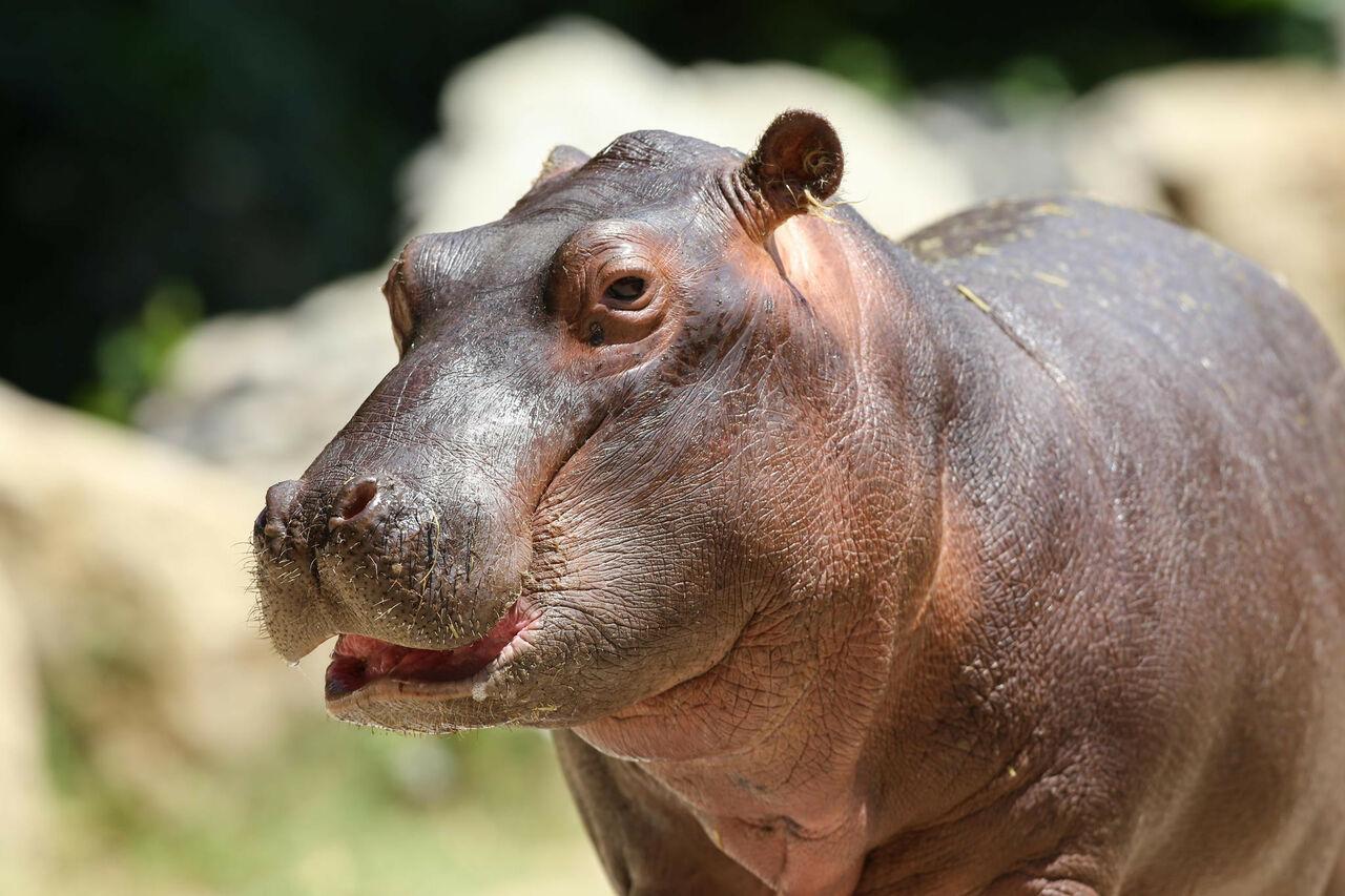ВМосковском зоопарке впервый раз за40 лет приняли решение завести бегемота