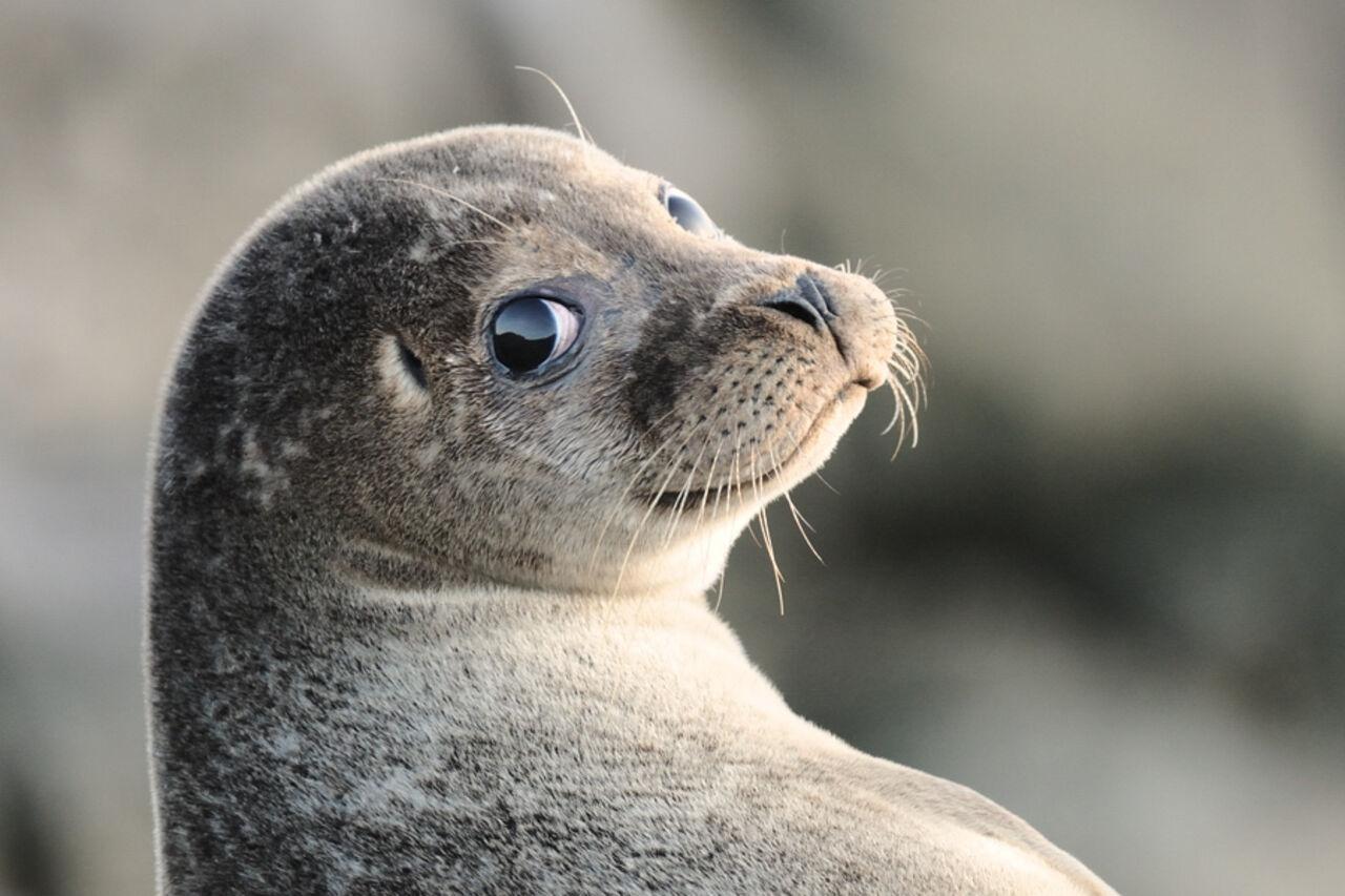 Японский тюлень, обнимающий свою игрушечную копию, покорил Интернет