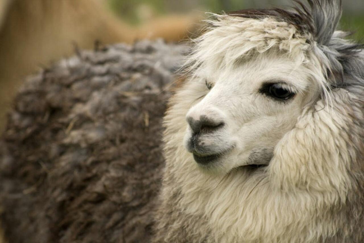Вукраинском зоопарке насмерть закормили альпаку
