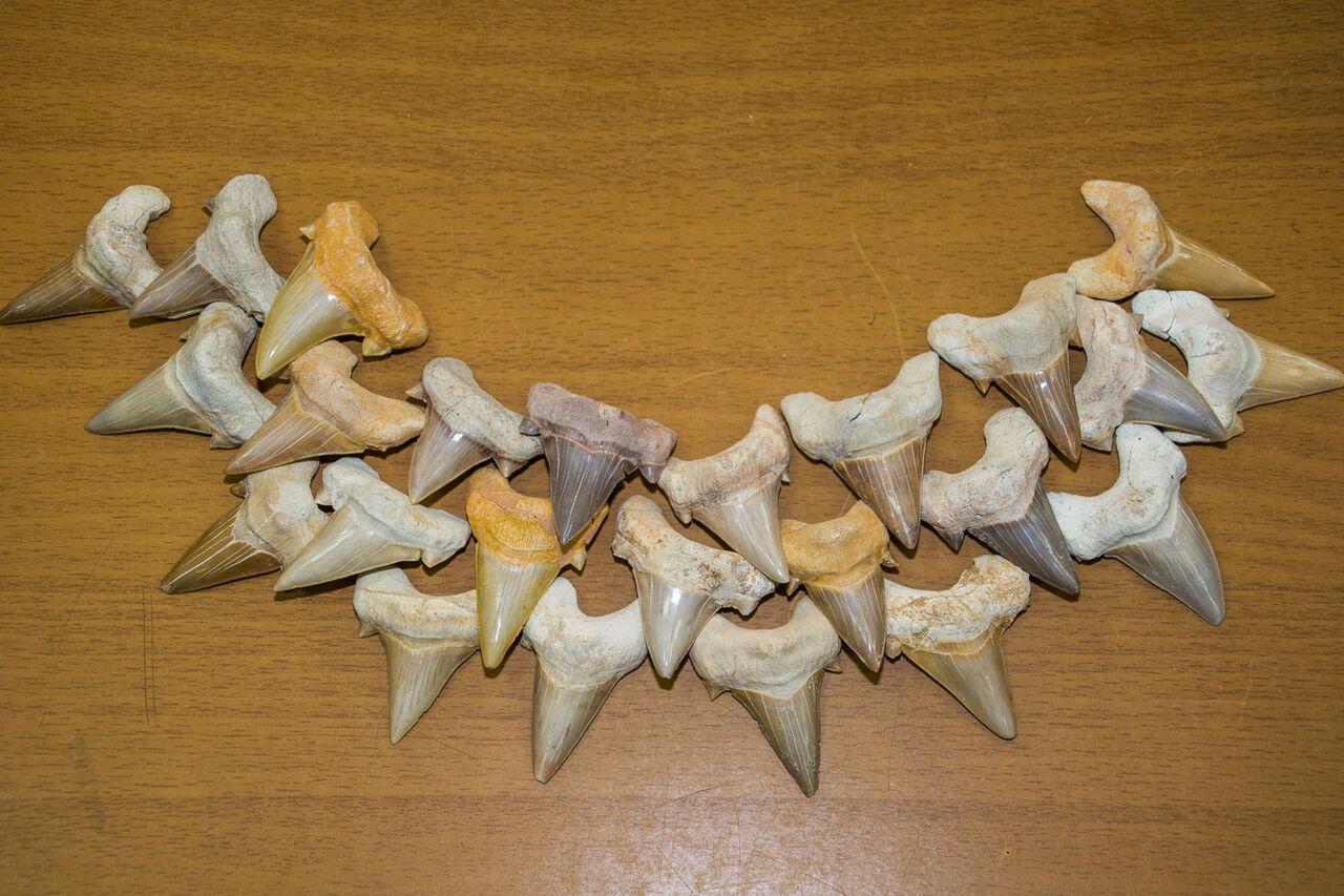 Зубы ископаемой акулы отобрали укитайца ипередали вмузей