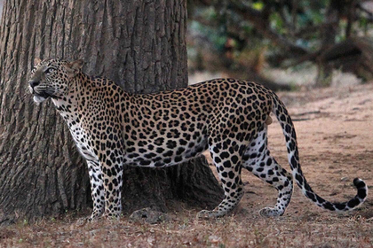 Леопард вУганде съел 3-х летнего ребенка