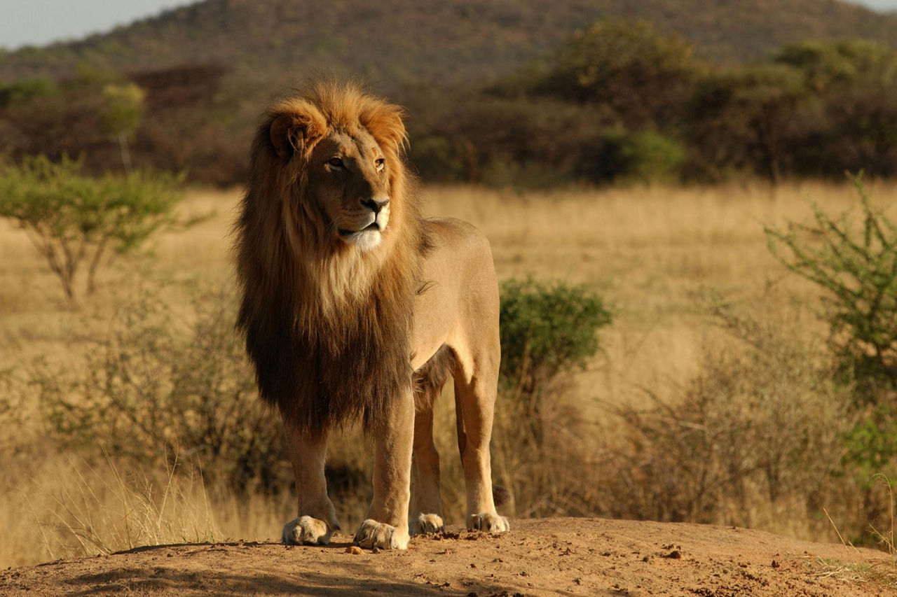 Турист вАфрике спровоцировал льва нанападение