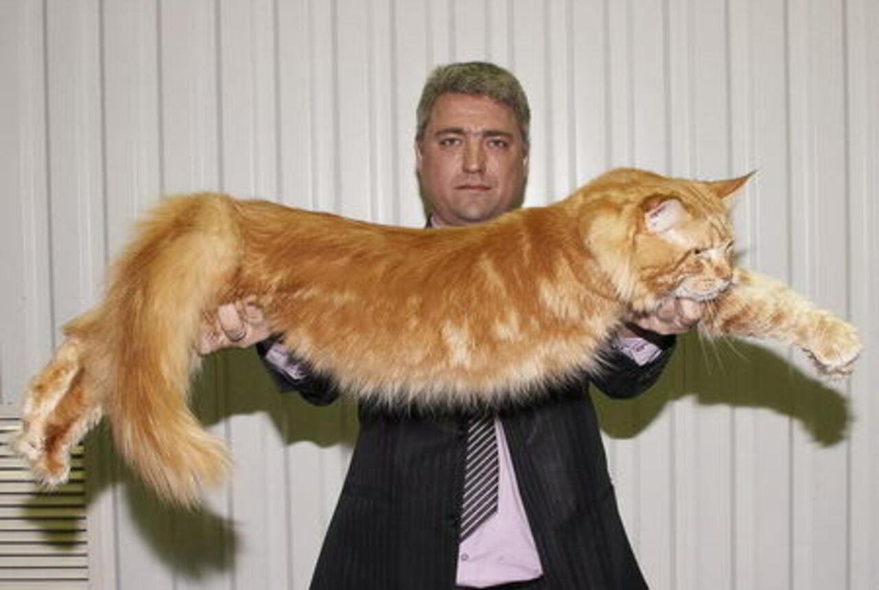 Как можно дрессировать кошку? Дрессировка кошек 81