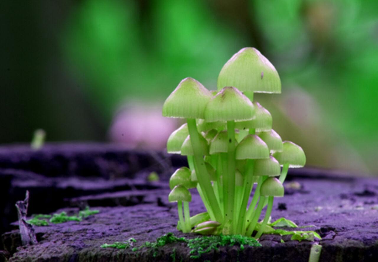 Как выглядят голюцагенные грибы фото