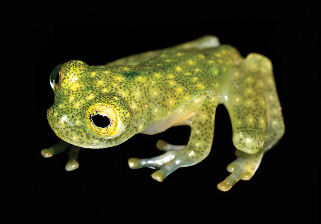 ВЭквадоре обнаружили новый вид лягушек с бесцветной кожей