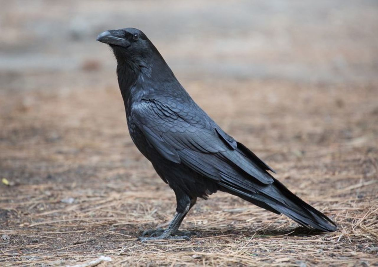Ворона вПриморье «помогла» приставу отыскать накладбище должницу