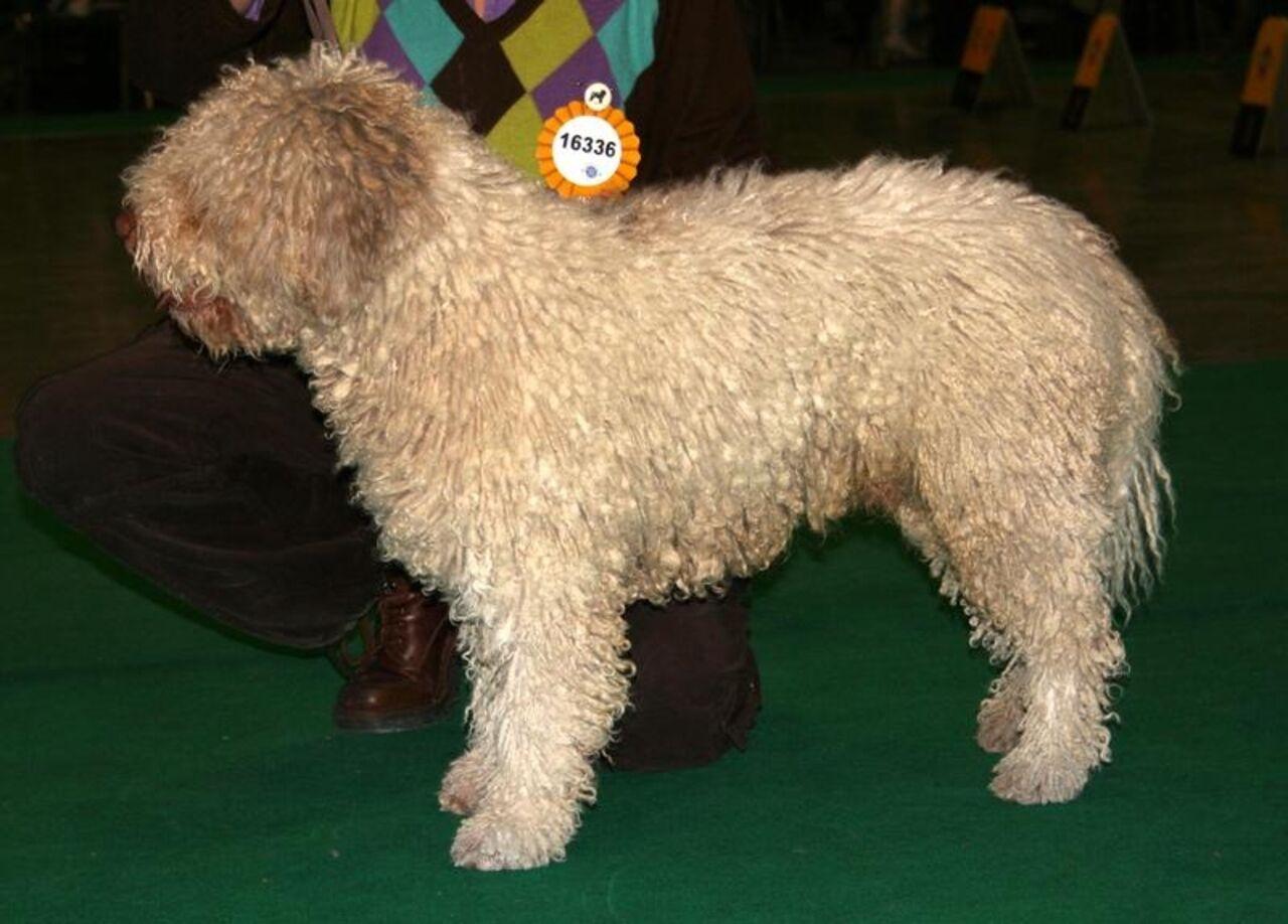 Предприимчивый германец, чтобы неплатить налоги запитомца, выдавал собаку заовцу