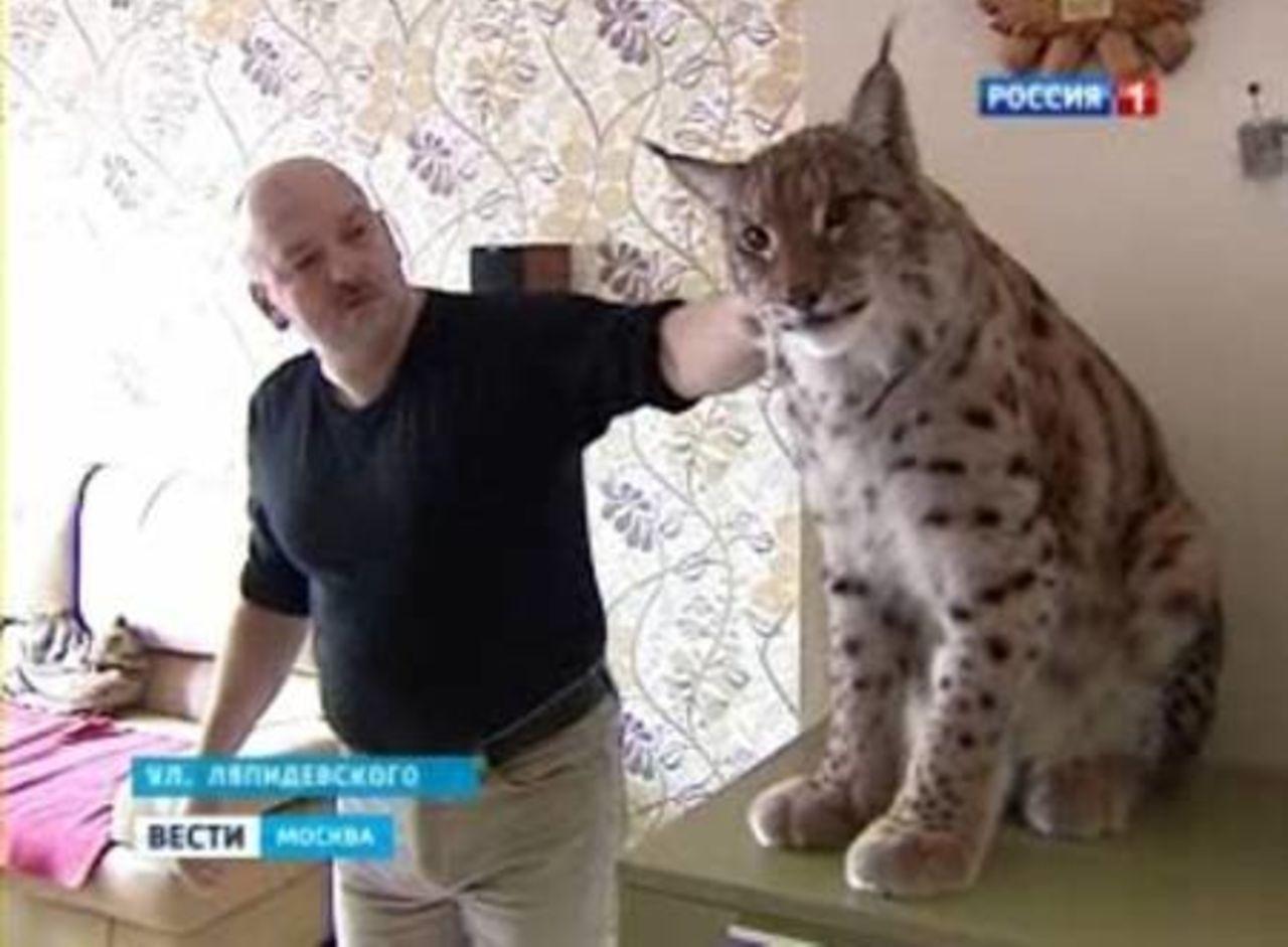 Как из дикого кота сделать домашнего