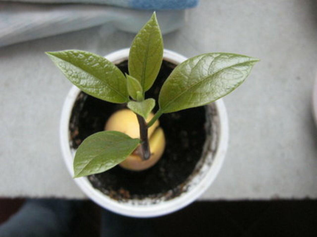 Авокадо в домашних условиях плодоносит фото