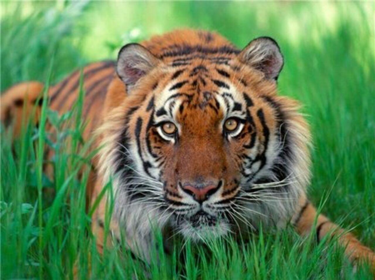 Алмазная вышивка бенгальские тигры 45