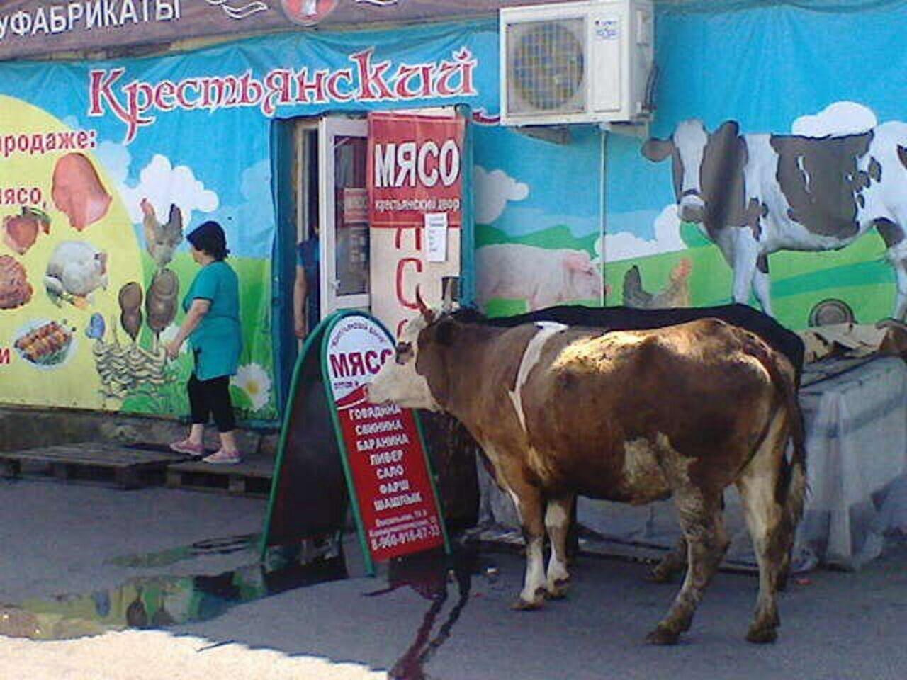 «Умная» корова пришла кмясному магазину вМеждуреченске