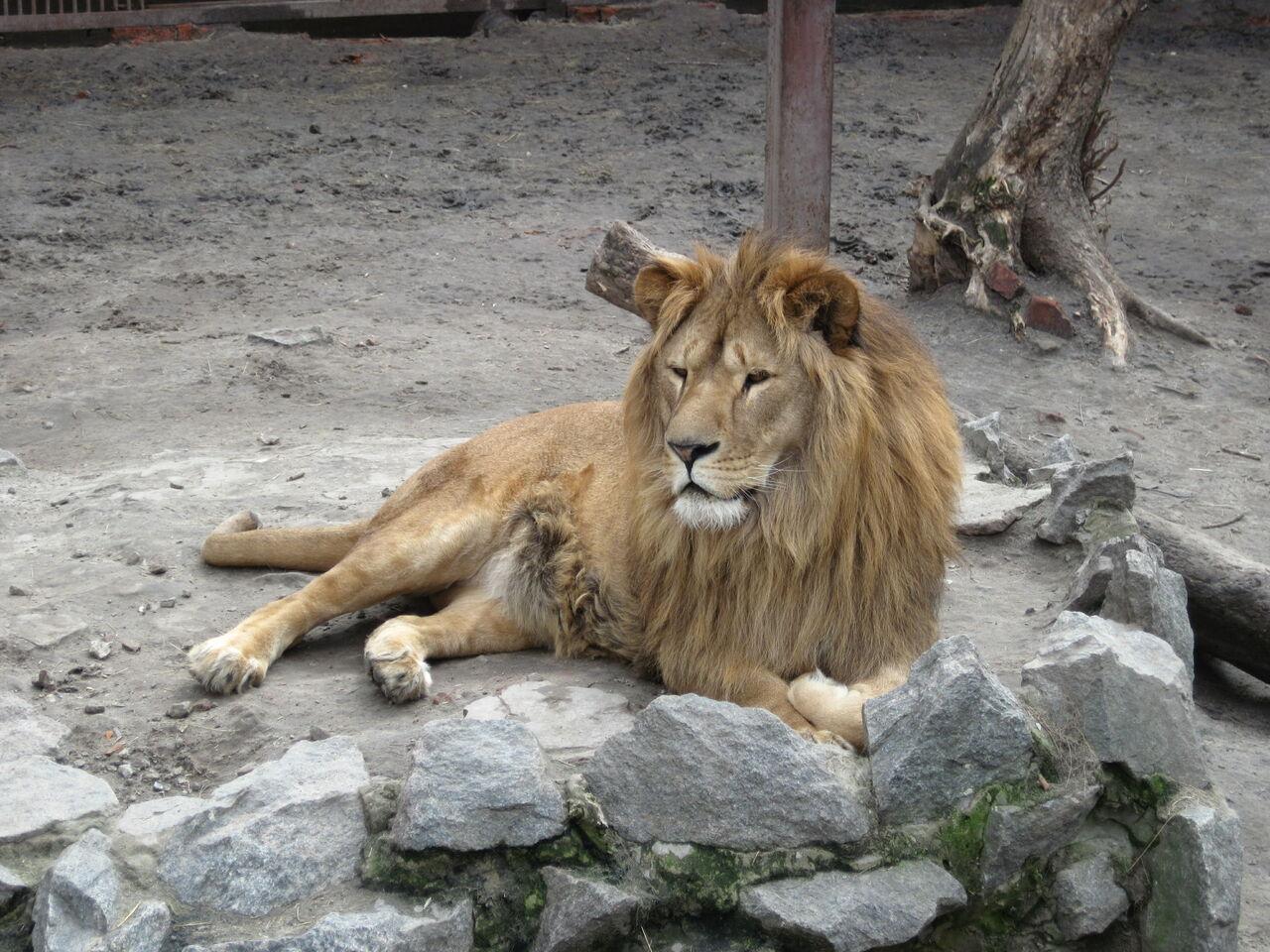 Два льва убежали иззоопарка Лейпцига