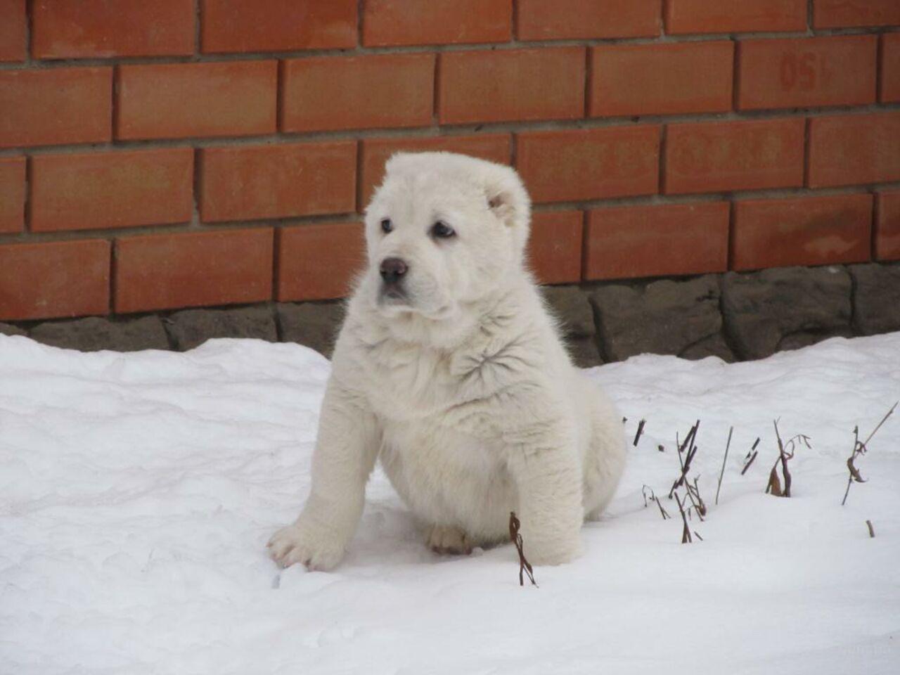 Кузбассовец похитил щенка алабая иобменял его наспиртное итабак