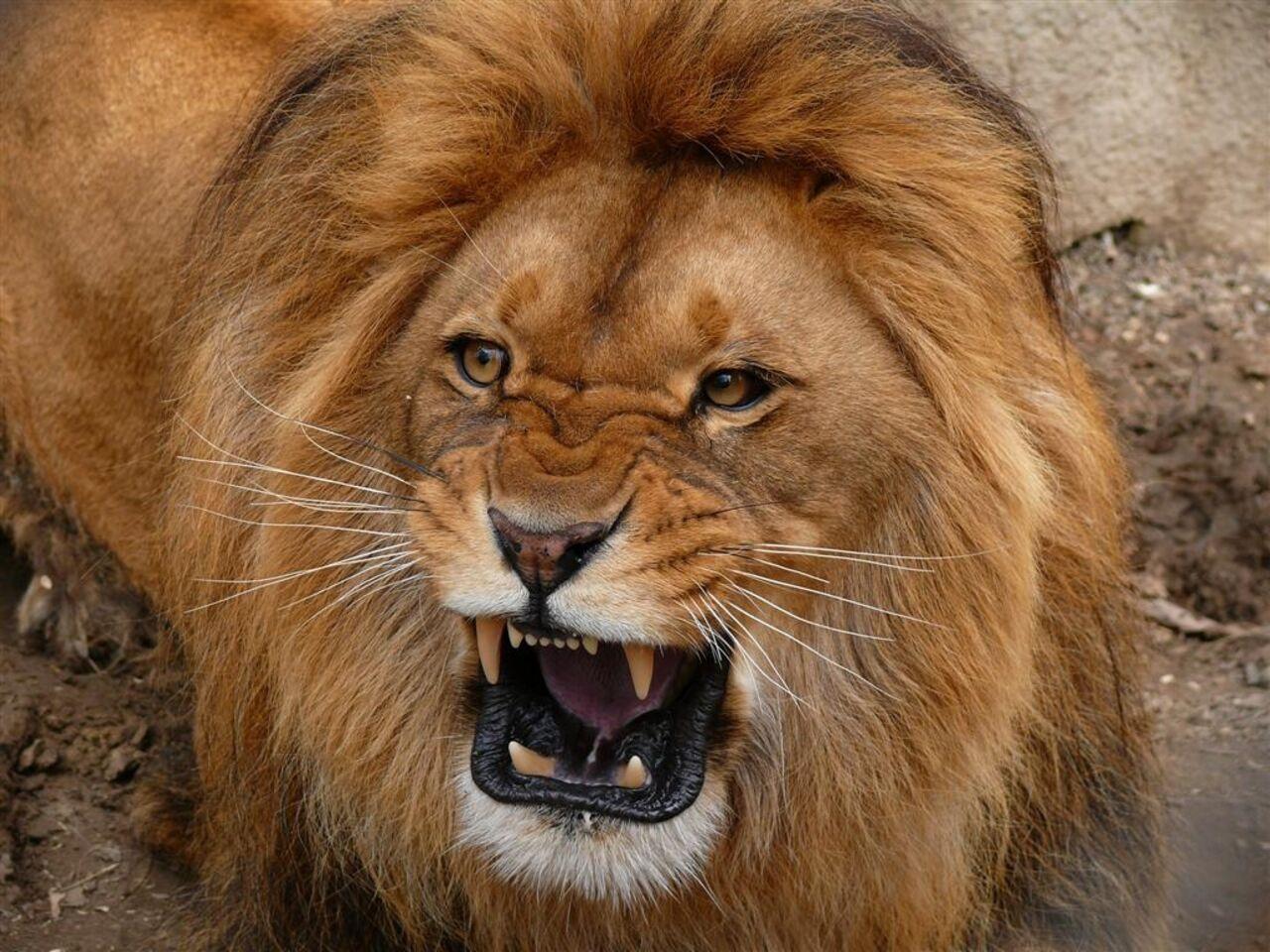 Вгороде Энгельс школьника покусал лев