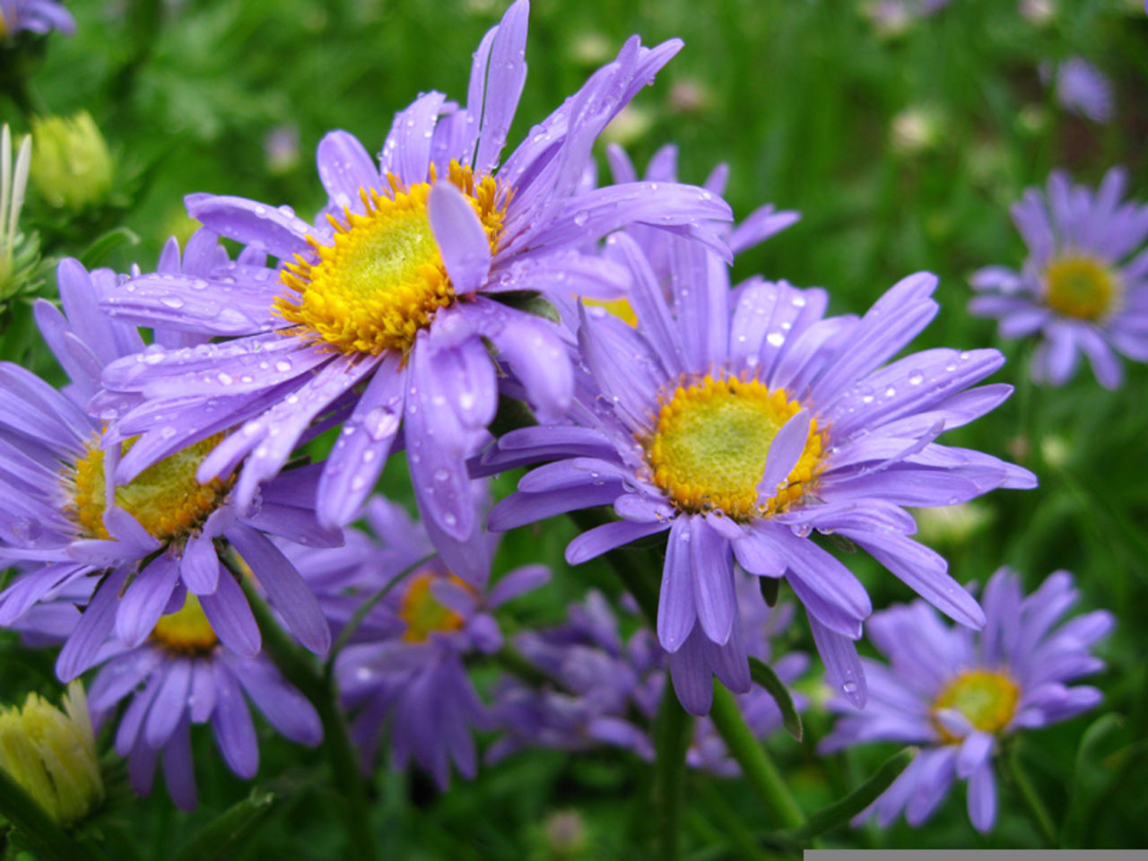 Голубая ромашка многолетняя фото цветов
