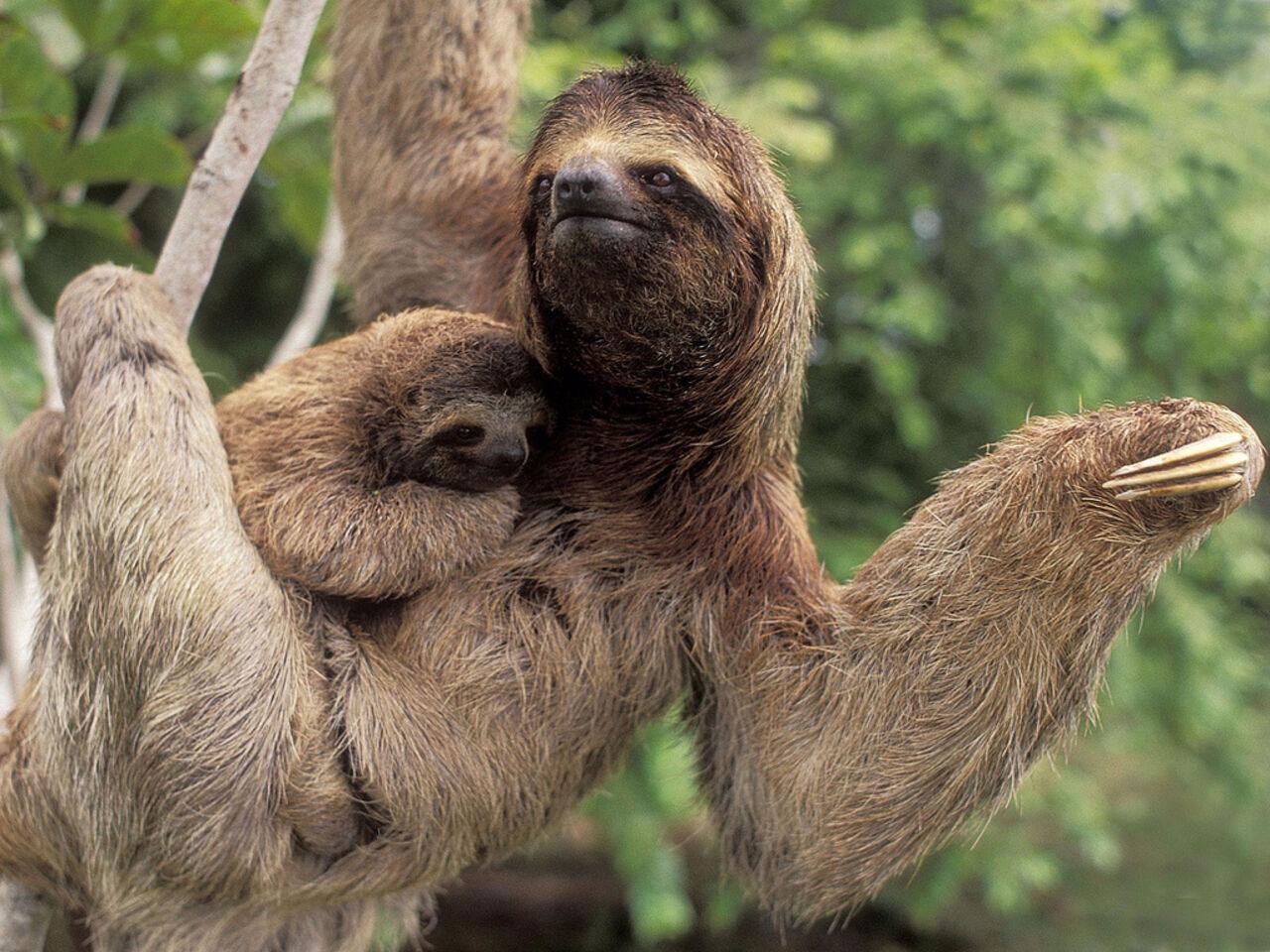 Детеныш двупалого ленивца родился взоопарке Новосибирска