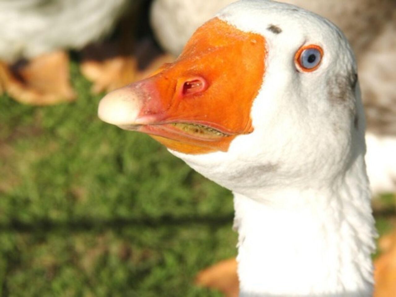 Вырастивший 68 лебедят гусь-бисексуал скончался  ввозрасте 40 лет