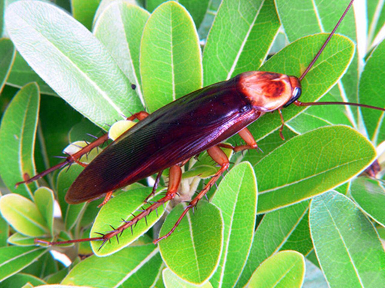 Ученые: Секрет живучести тараканов скрывается в особенном наборе рецепторов
