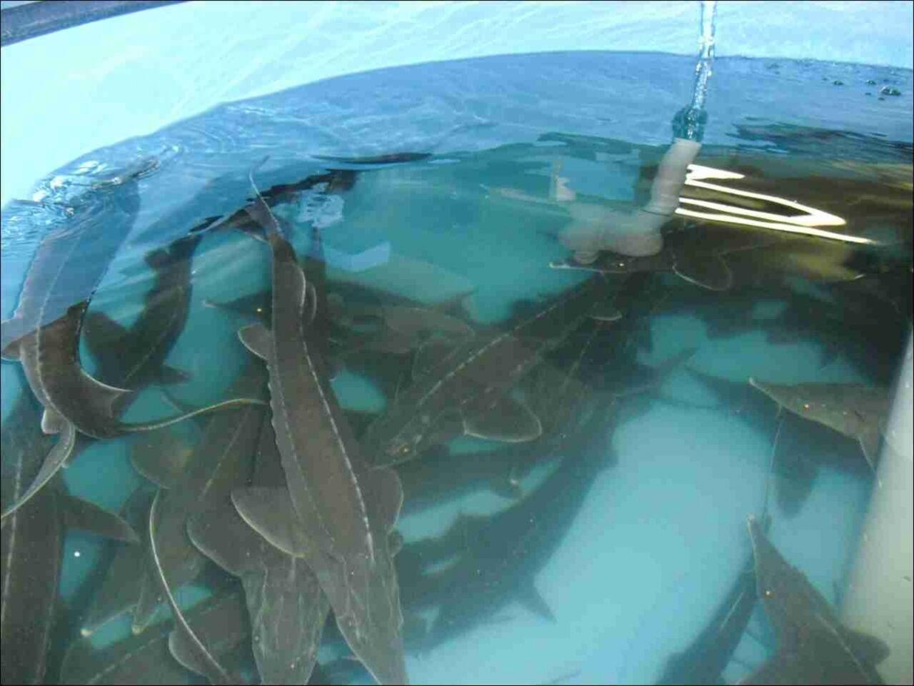 Бизнес на дому выращивание рыбы