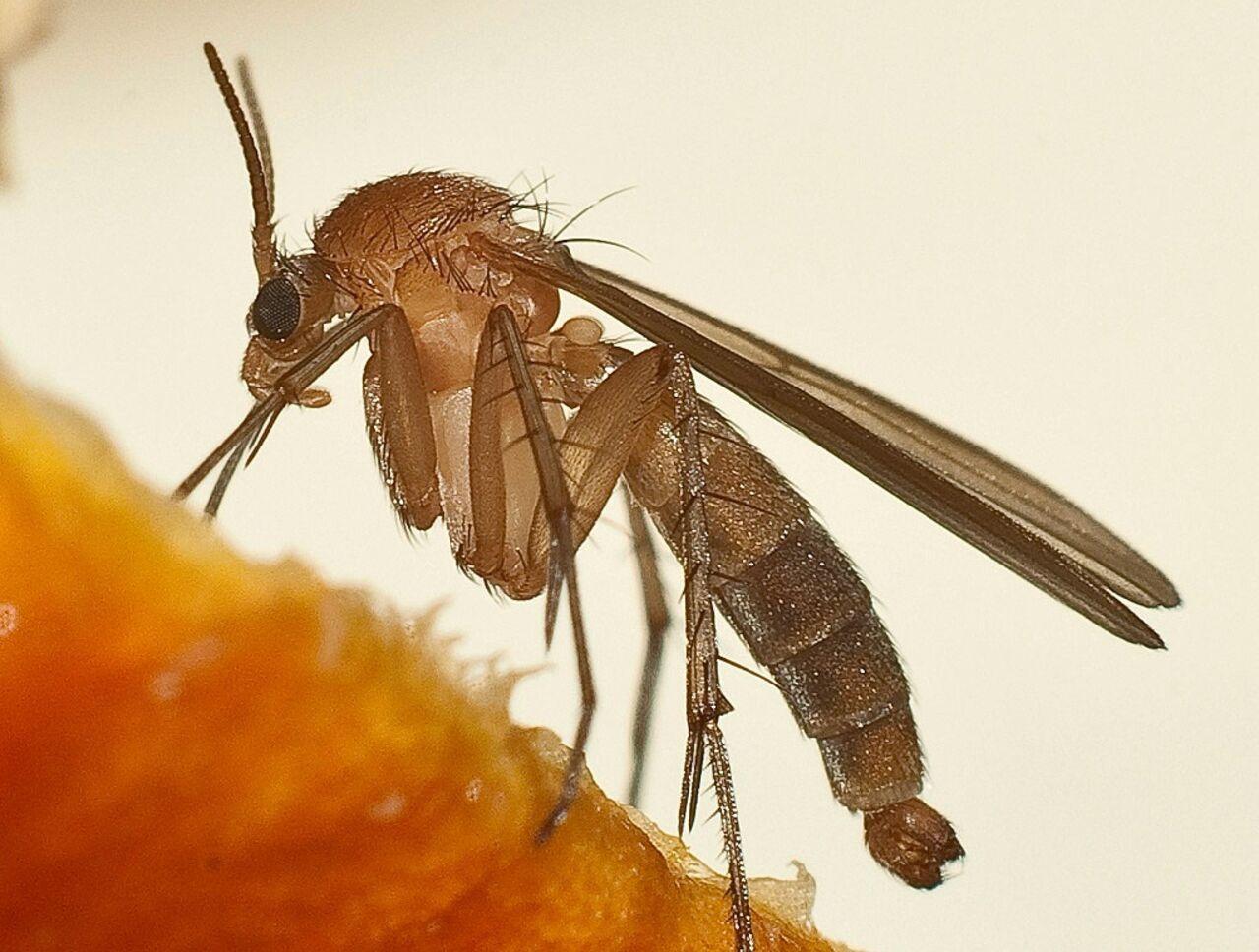 Для борьбы свирусом Зика вБразилии выведут усовершенствованных комаров